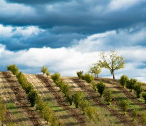 Rows of hazels on the Langa hills in Piedmont, in front of a dark blue stormy sky full of clouds