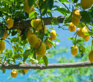 Sfusato amalfitano is variety  of Amalfi lemons that ripe along the Amalfi coast. Different from Sorrento lemon for minor resistence at northern wind andtechnical cultivation